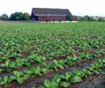 cultivo tabaco
